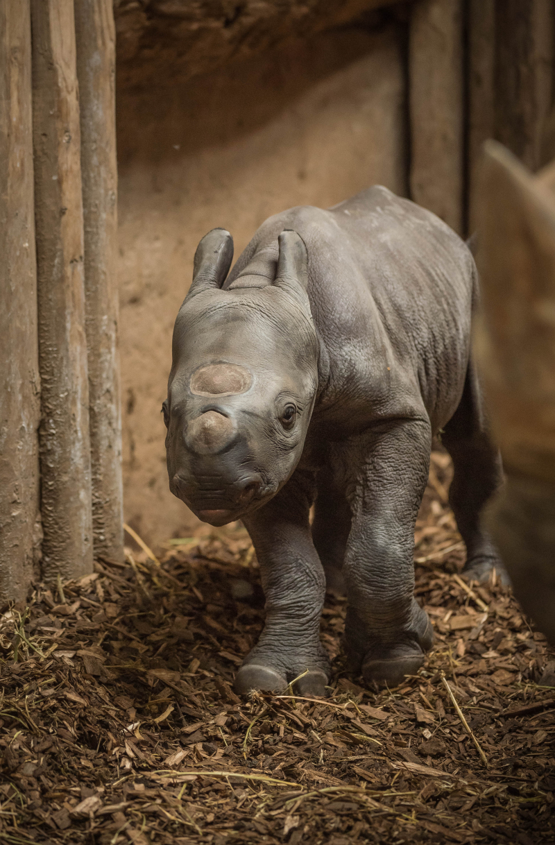 7_Baby black rhino birth catches visitors by surprise at Chester Zoo (9)