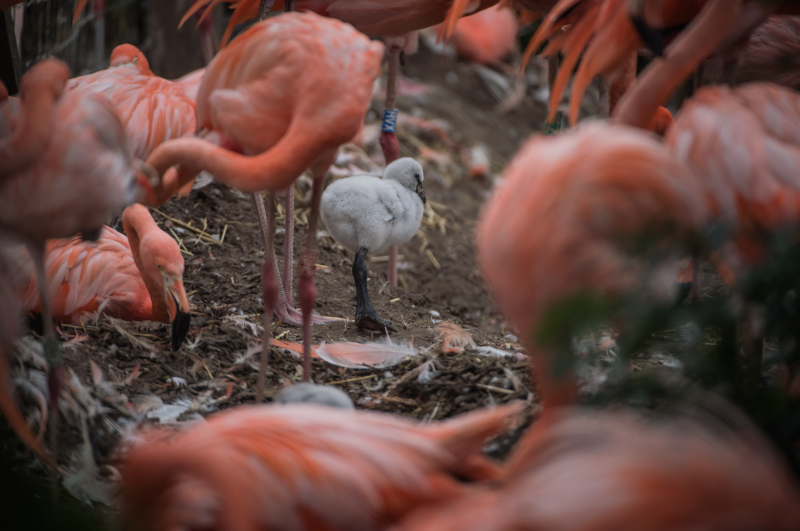 Pretty in pink! Chester Zoo welcomes new flamingo chicks