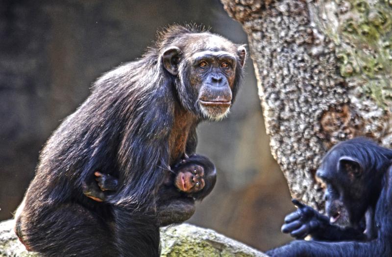 4_Agosto 2018 - La chimpancé Noelia y su bebé nacido en BIOPARC Valencia