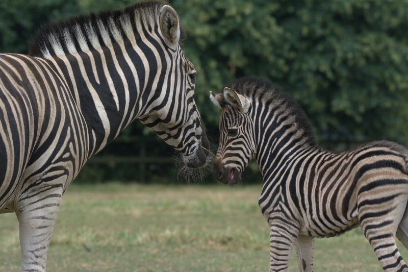 2_Zebra foal 2018 Cotswold Wildlife Park (photo credit Jackie Thomas) (2c)