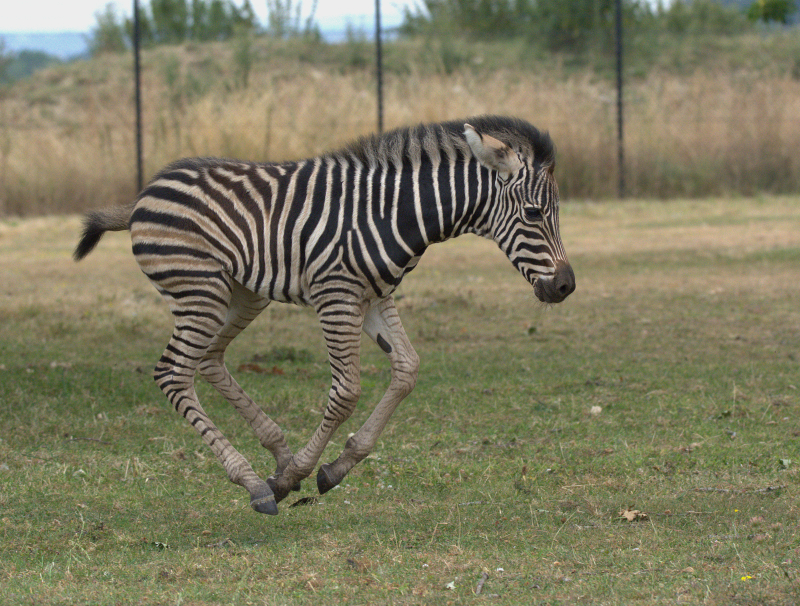 3_Zebra foal 2018 Cotswold Wildlife Park (photo credit Jackie Thomas) (9)