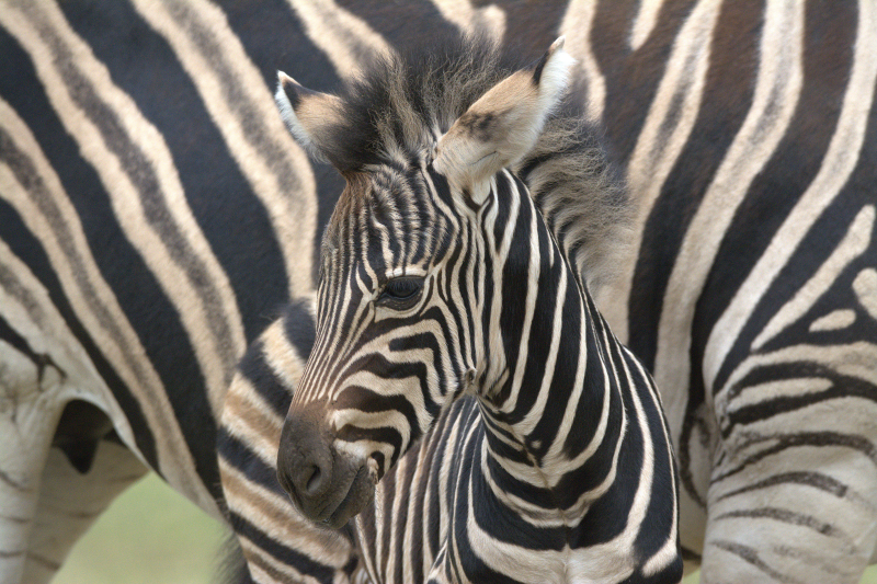 5_Zebra foal 2018 Cotswold Wildlife Park (photo credit Jackie Thomas) (2a)