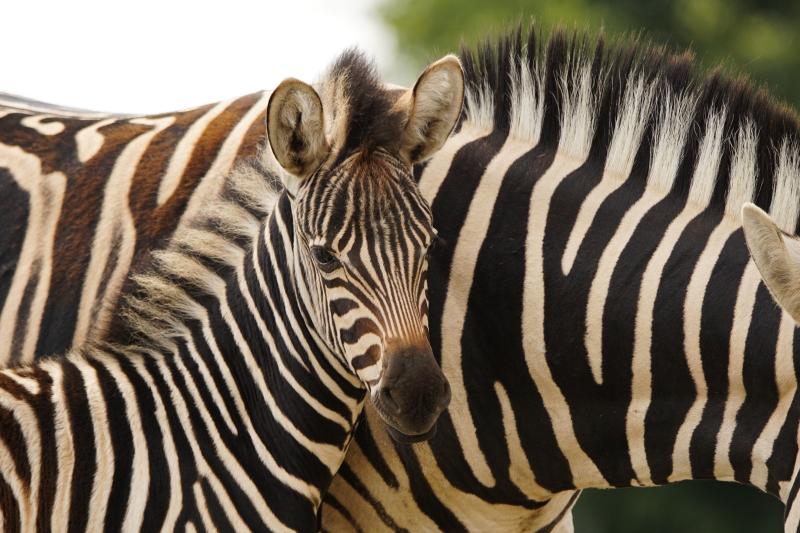 6_Zebra foal with mum Stella (2)