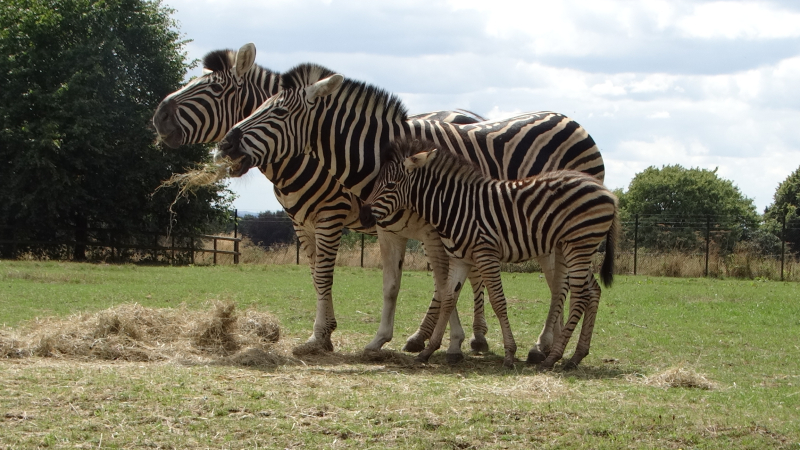 12_Zebras together (dad  mum and foal) (2)