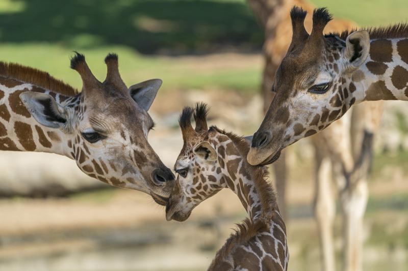 2_BabiesGiraffe_001_LG