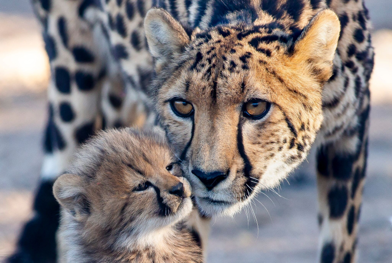 1_CheetahCubs3