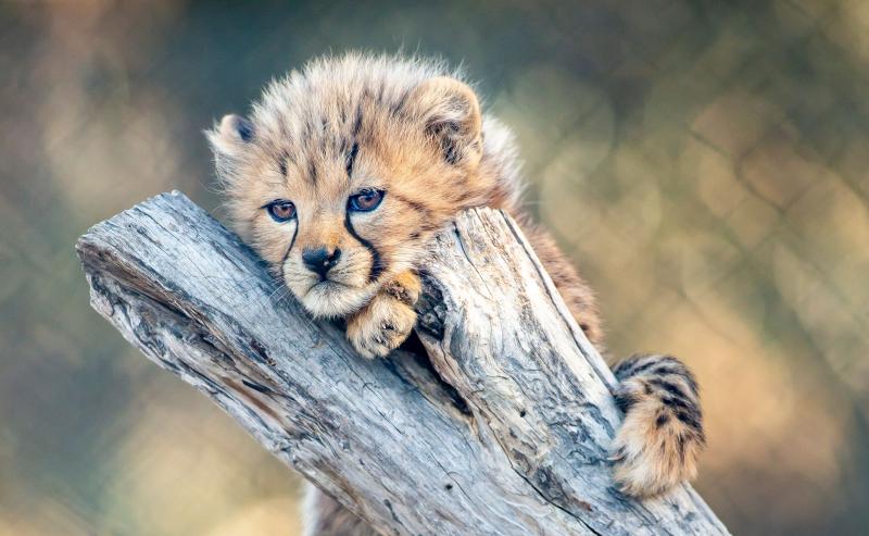 6_CheetahCubs6
