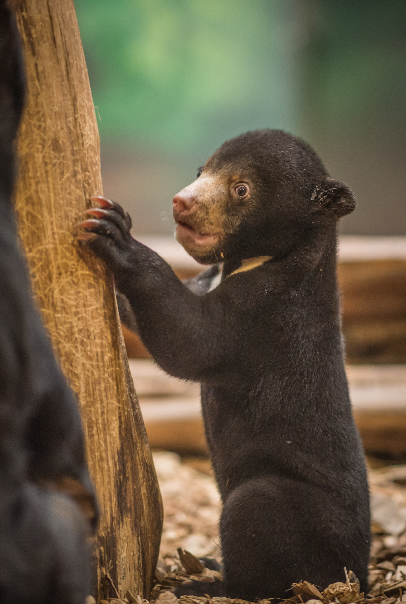 UK's first baby sun bear named Kyra (9)