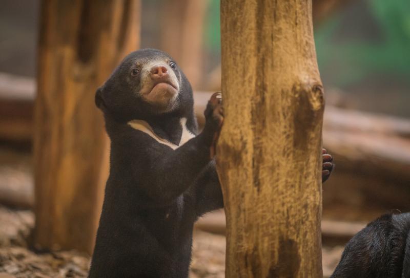 UK's first baby sun bear named Kyra (20)