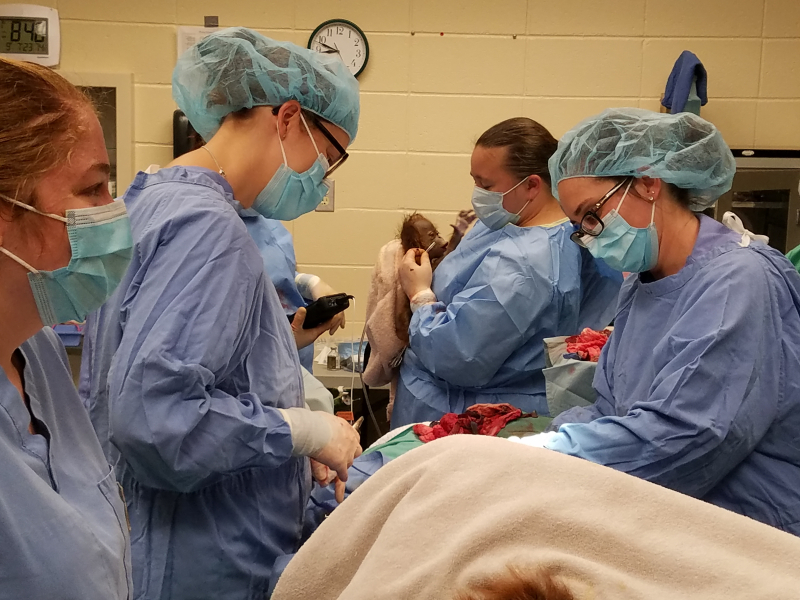 6_Drs. Janna Chibry and Laura Whisler closing up after c-section  keeper Devin Turner holding Lily  9-7-18