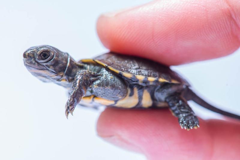 Turtle & Tortoise - ZooBorns