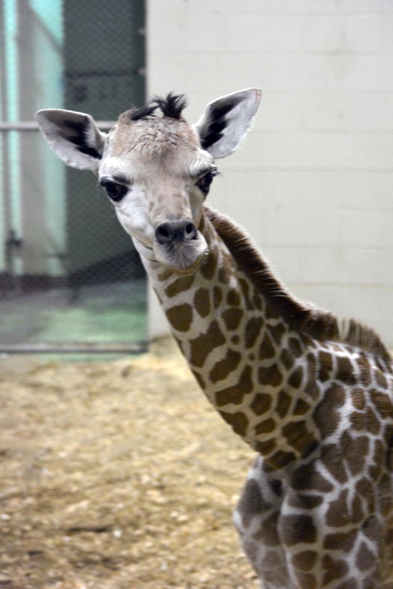 5_CheyenneGiraffe2