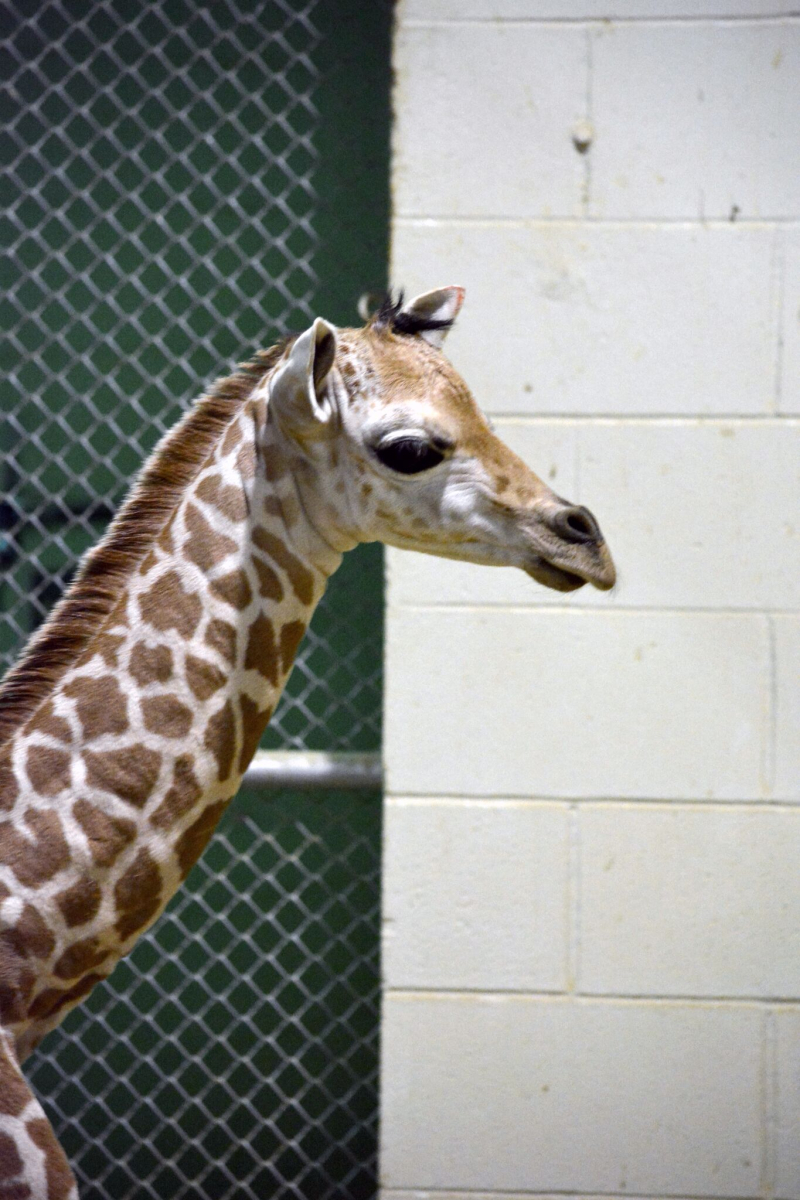 6_CheyenneGiraffe4