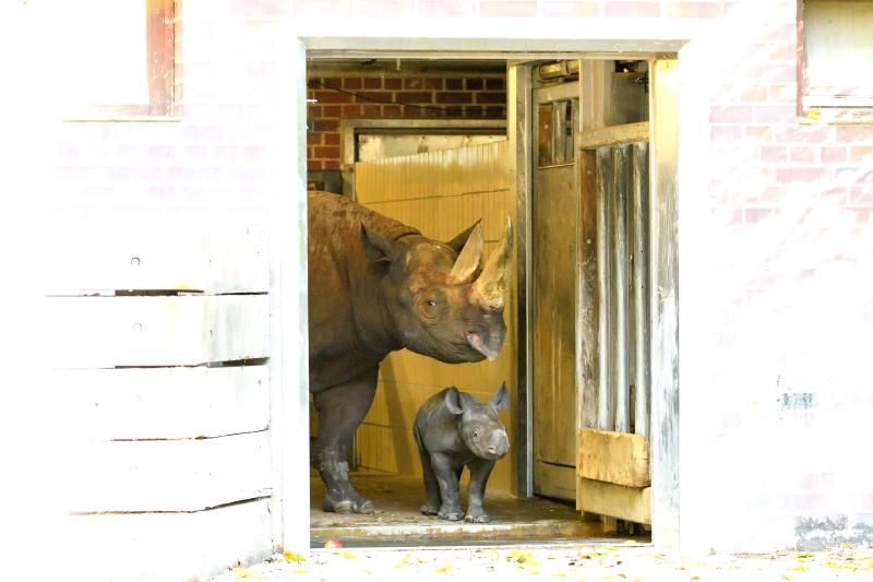 Spitzmaulnashorn Maburi mit Jungtier_Zoo Berlin_2018