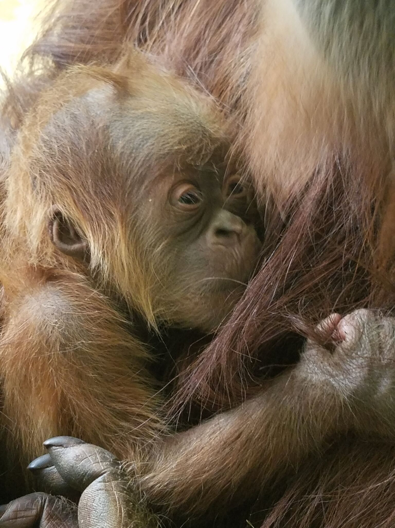 1_cheyenne orangutan 2