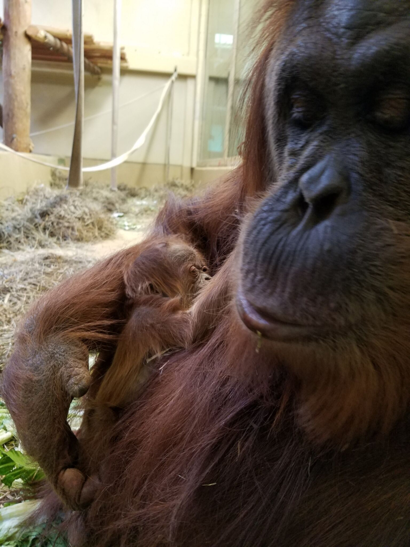 3_cheyenne orangutan 4