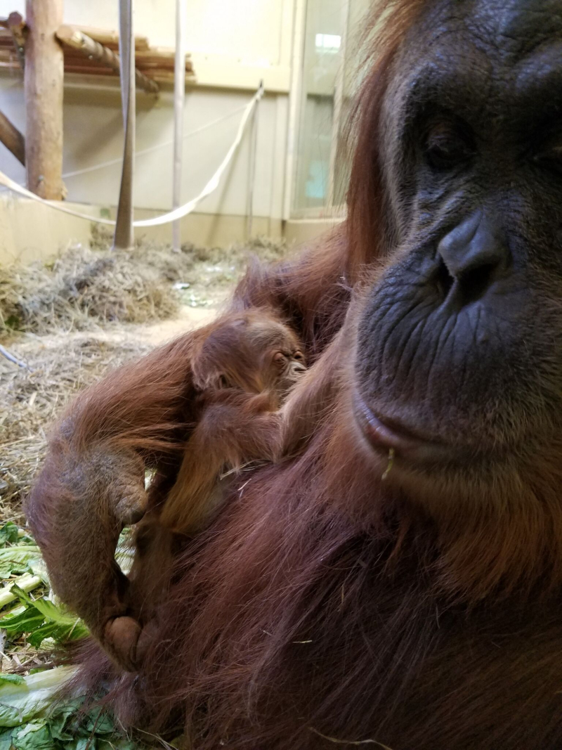 4_cheyenne orangutan 5