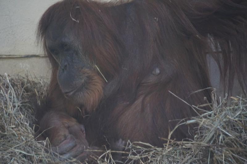 5_cheyenne orangutan 6