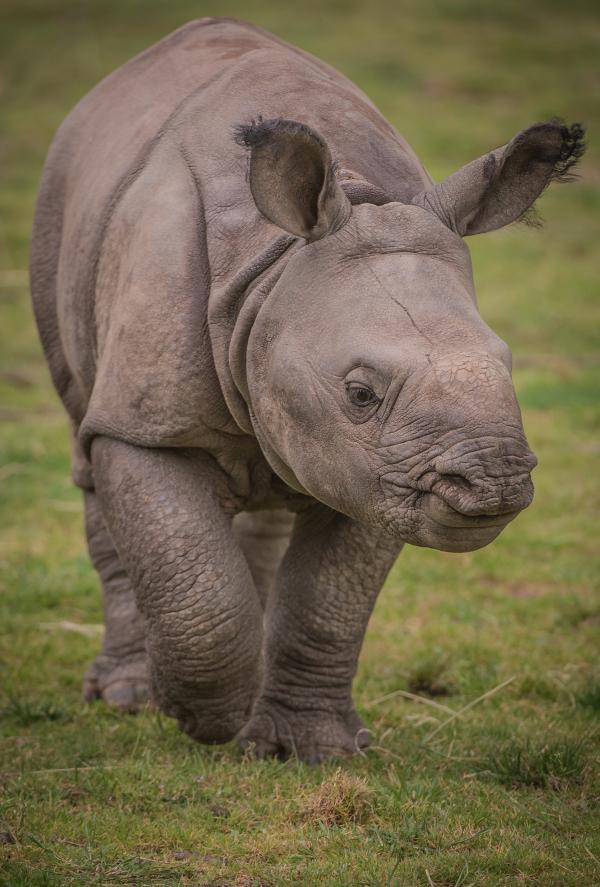 Baby Born At 25 Weeks: Meet Akeno The Baby Rhino At Chester Zoo