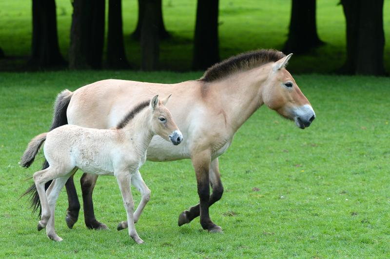 5_zsl foal