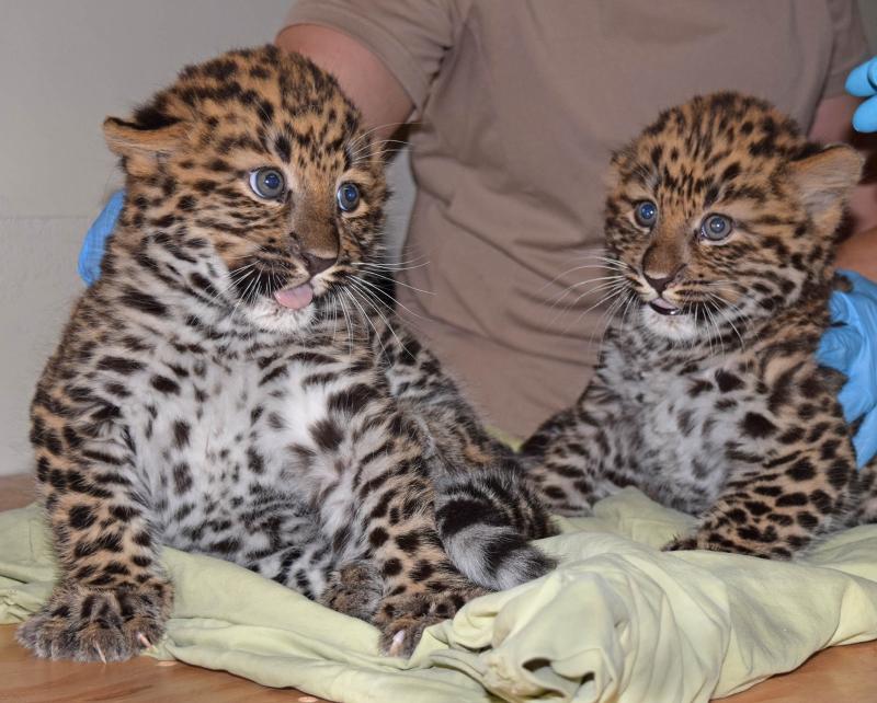 Amur leopard cubs-3