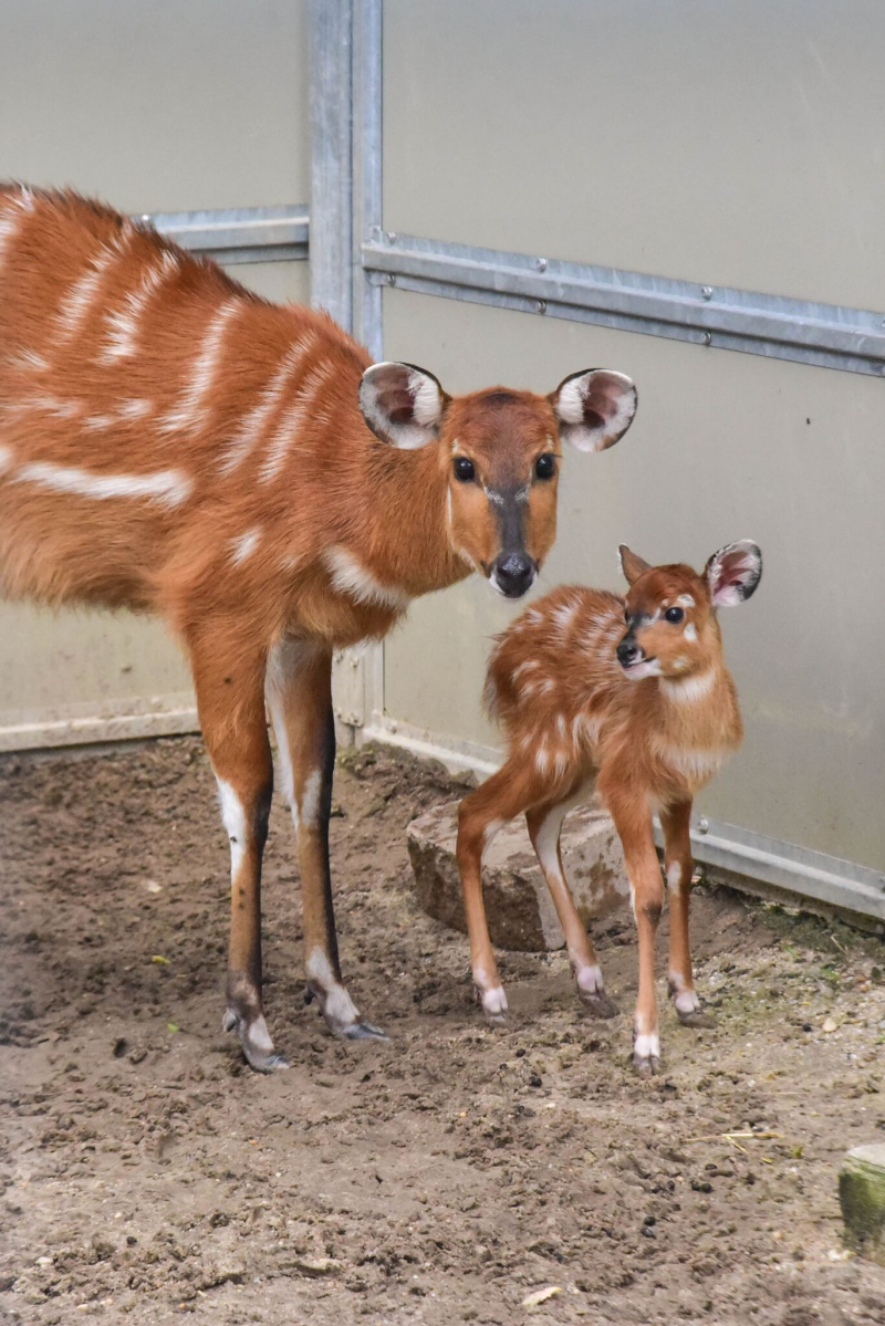 1_sitatunga calf maryland 2