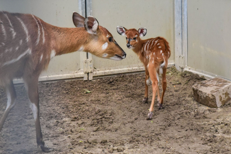 2_sitatunga calf maryland