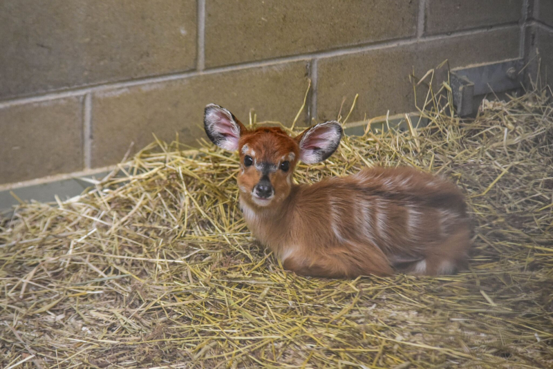 3_sitatunga calf maryland 4