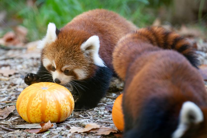1_2018_10_19 red panda cubs-8