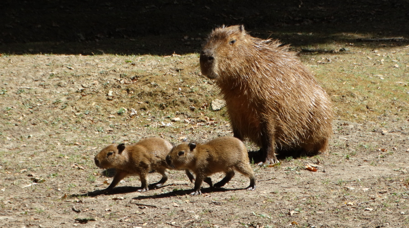 1_Capybara babies with Belle (2)