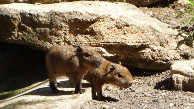 14_Capybara twins after their first swim