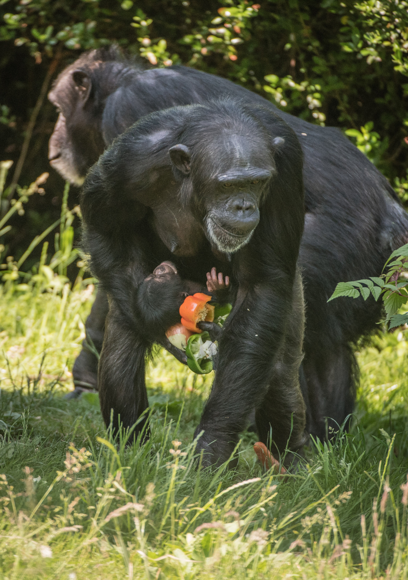 6_The first chimpanzee to be born in nearly a decade at Chester Zoo has arrived to doting mum ZeeZee (3)