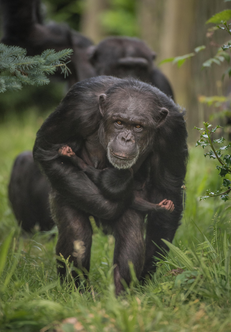 7_The first chimpanzee to be born in nearly a decade at Chester Zoo has arrived to doting mum ZeeZee (21)