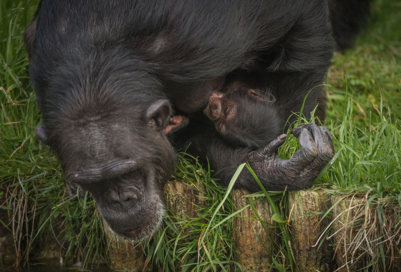 9_The first chimpanzee to be born in nearly a decade at Chester Zoo has arrived to doting mum ZeeZee (14)