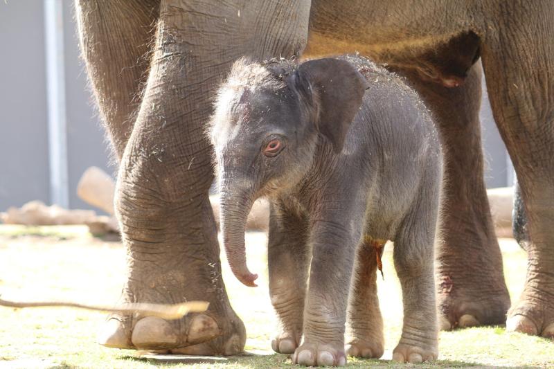 3_elephant calf dubbo 3