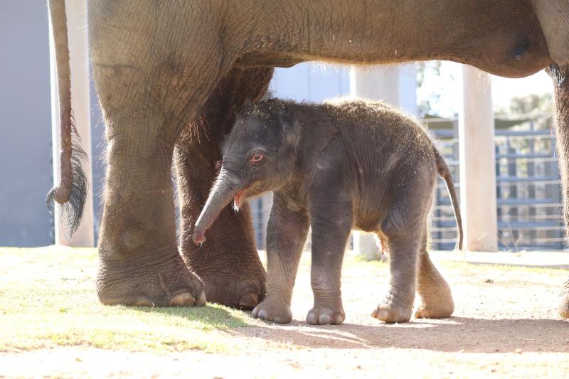 4_elephant calf dubbo 2