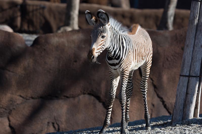 7_Grevy's zebra_Nova_by Robin Winkelman Saint Louis Zoo_web