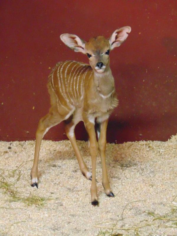 9_Lesser kudu_Biff_Saint Louis Zoo_web