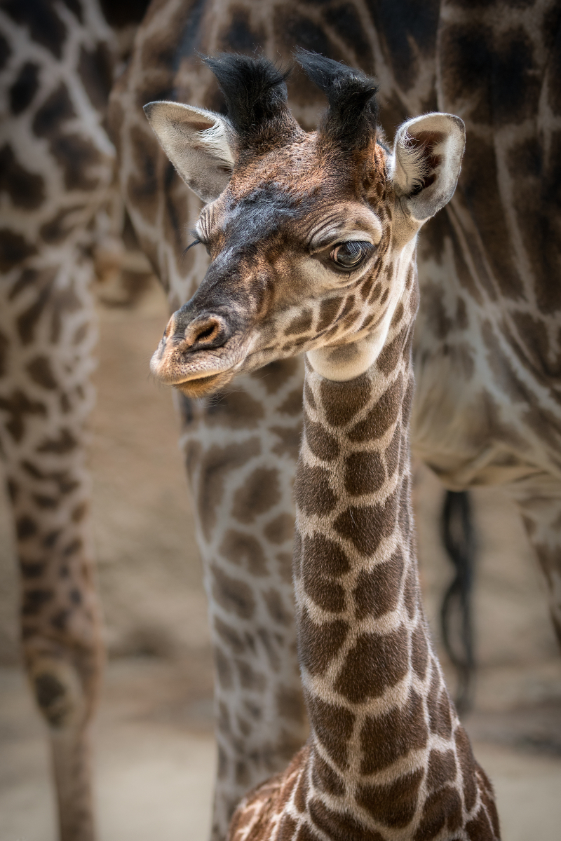 4_Female Giraffe Calf Photo by Jamie Pham 3