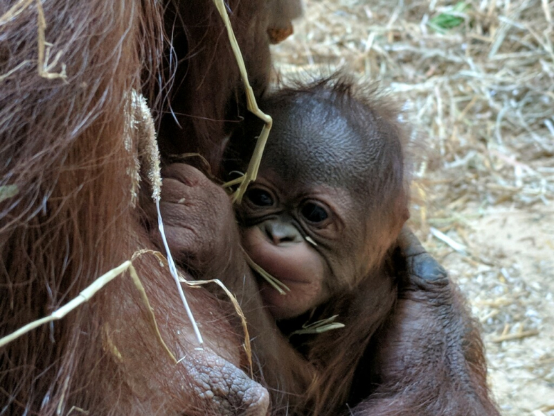 Photo 2 Virginia Zoo Baby Orangutan