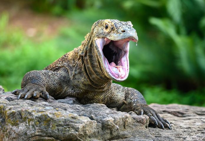 4_Komodo dragon mom_Tiga