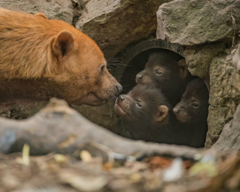 1Puppy love! Biggest ever bush dog litter born at Chester Zoo emerges from den (16)