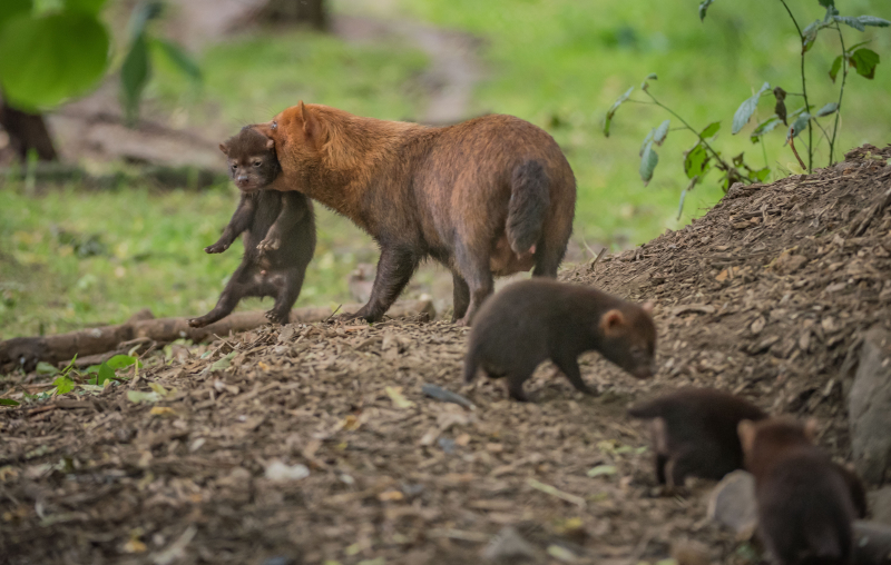 Puppy love! Biggest ever bush dog litter born at Chester Zoo emerges from den (43)
