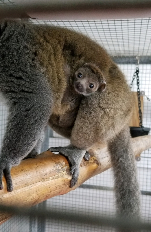 2_Buttercup_mongoose lemur_3 weeks old_Mylisa Whipple Saint Louis Zoo_sm