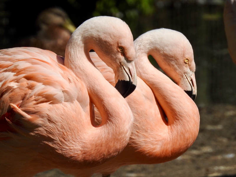 (9) The flamingos pink colour comes from carotenoid pigments which they consume as part of their diet of molluscs crustaceons insects and algae.