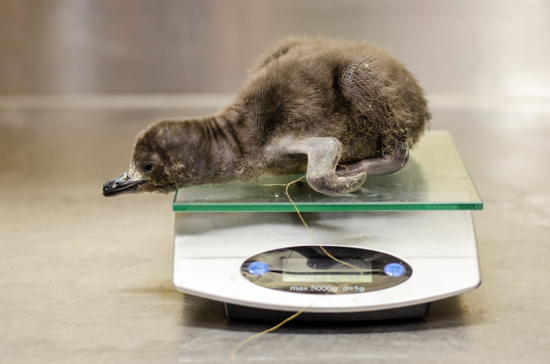 5_penguin weight