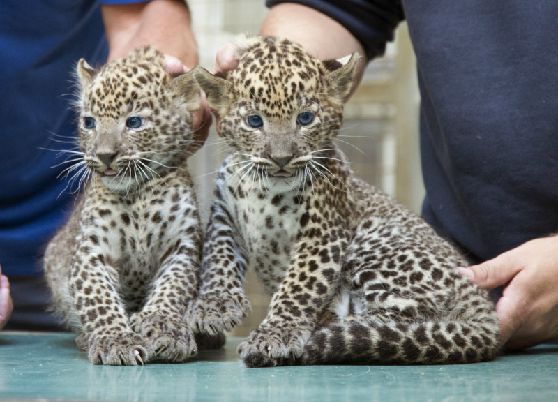 Veterinary-check-panther-cubs-3