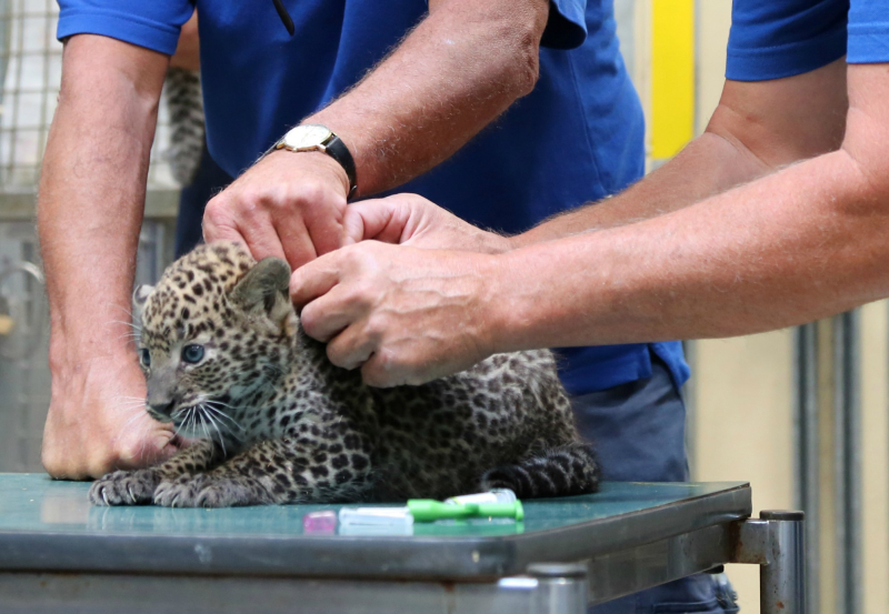 Veterinary-check-panther-cubs-2