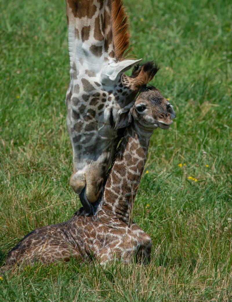 Vert Giraffe Calf 7263 - Grahm S