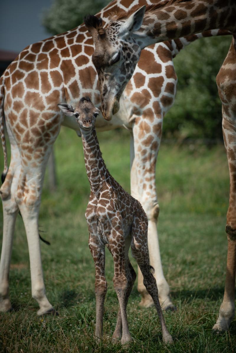 Giraffe Calf 7015 - Grahm S. Jones  Columbus Zoo and Aquarium